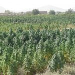 A field of Cannabis
